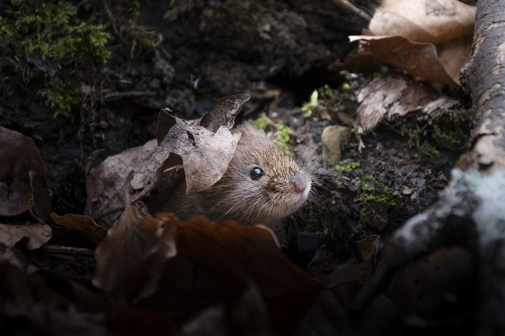 Bank vole emerging from the leaf litter